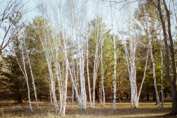 Birch trees at the University of Guelph Arboretum.