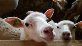 lammas, villa, suomen lammas