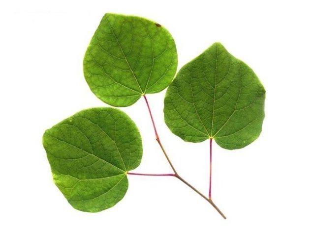 葉と枝による樹木検索図鑑-葉の解説-マルバノキ