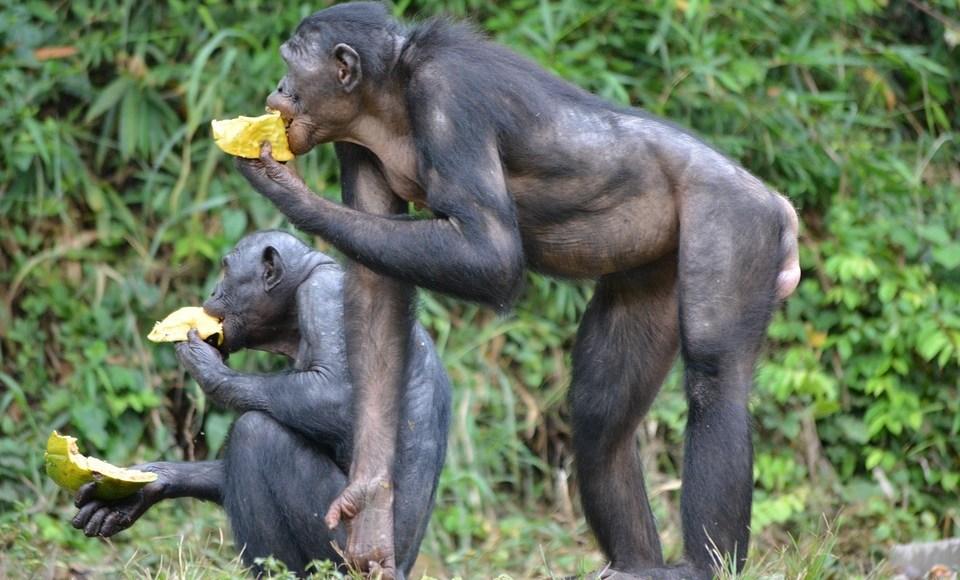 البونوبو الكائن الأقرب في فرع التطور للشامبانزي