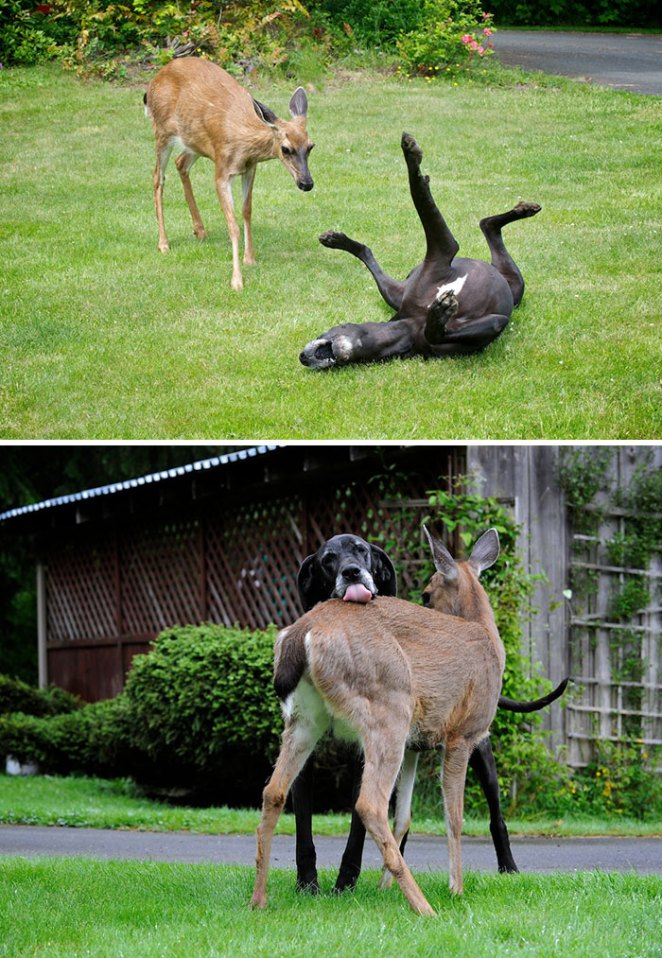 Pippin, A Helpless Baby Fawn Was Abandoned By Her Mother. Great Dane Kate Adopted Pippin Immediately And They Have Been Best Friends Ever Since