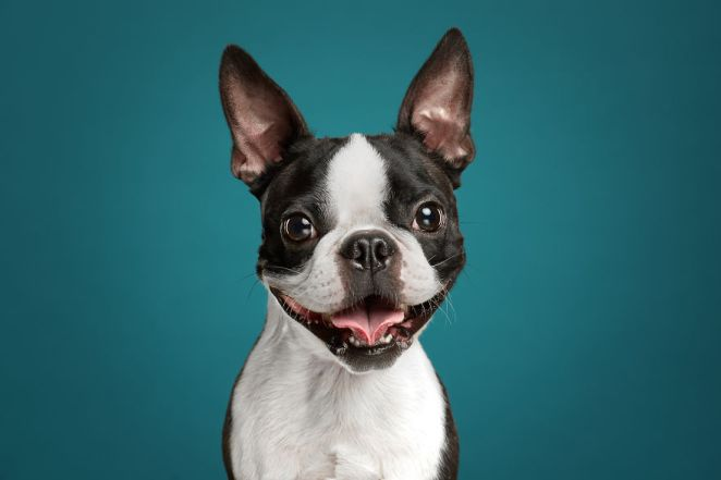Phil, The Boston Terrier