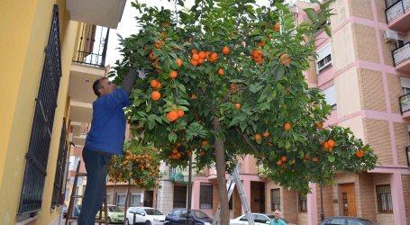 Moncada ahorra 3.000€ en la recolecta de naranjas amargas