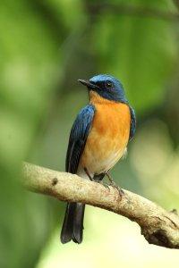 kerala, india, tickell's blue flycatcher