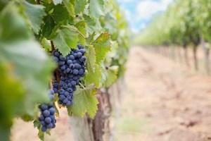 grapes, wine grapes, purple grapes