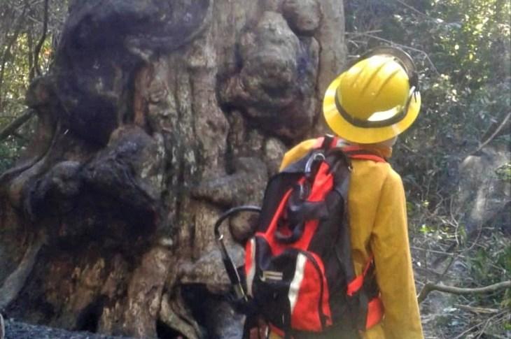 Intentó prepararse un mate, pero incendió el árbol más antiguo de Misiones 4