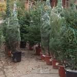 Una segunda vida para los árboles de Navidad