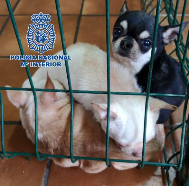 Chihuahuas encontradas en el sótano de una vivienda en pésimas condiciones