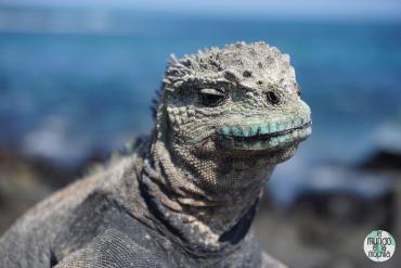 Primer plano de una Iguana Marina de Galápagos