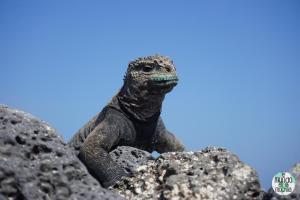 Foto primer plano Iguana Marina de Galápagos