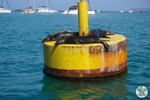 Foto de Leones marinos de las Galápagos descansando