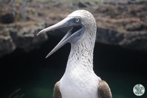 Foto de Piquero de patas azules boca abierta