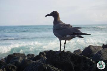 Gaviota de lava de Galápagos