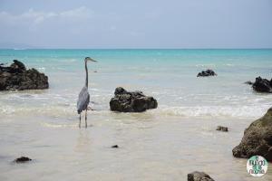 Foto de Garza azulada de Galápagos
