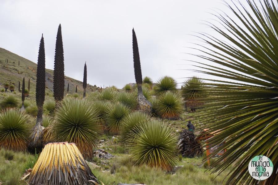 Un grupo de puyas raimondi, plantas autóctonas de la Cordillera Blanca