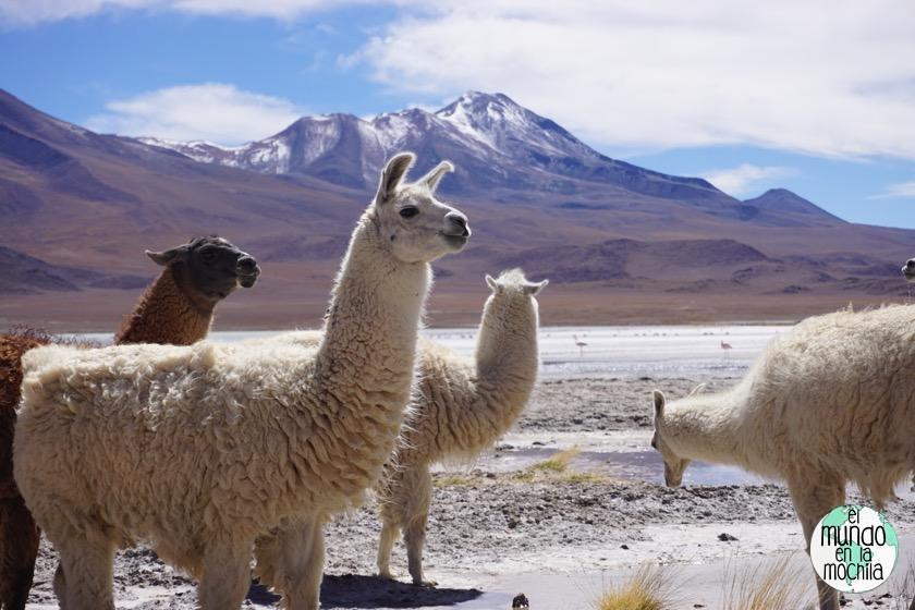 salar-uyuni-reserva-eduardo-avaroa-llamas
