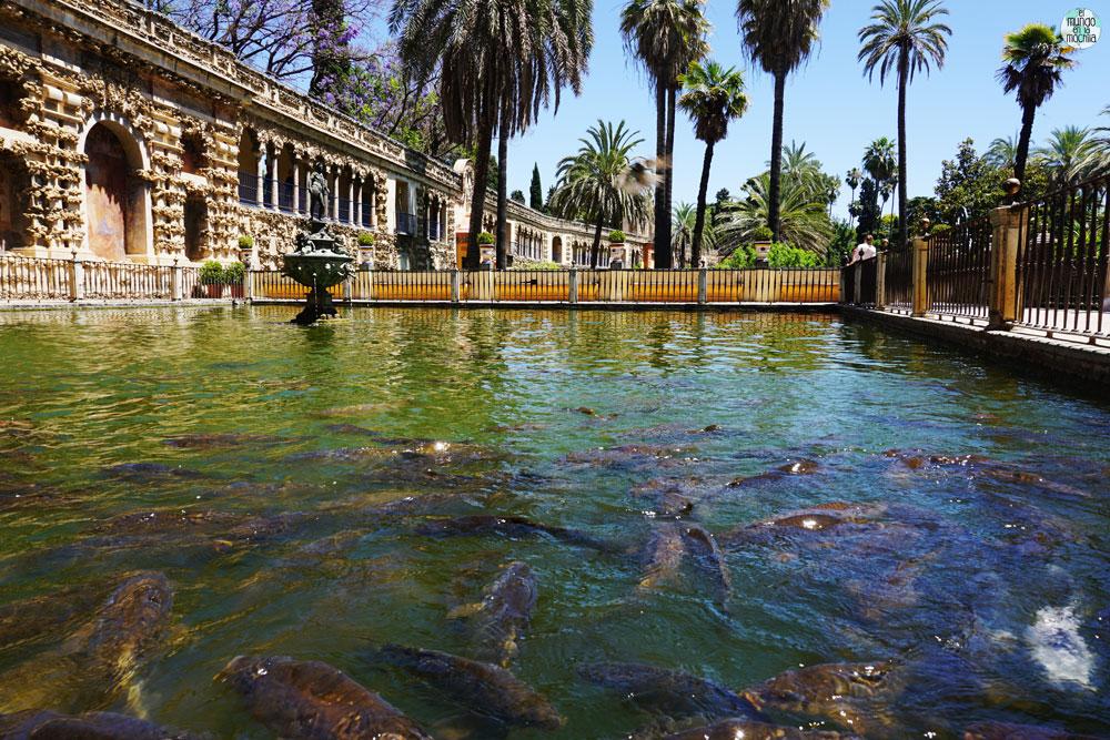 Estanque de agua verde con decenas de carpas nadando unas sobre otras