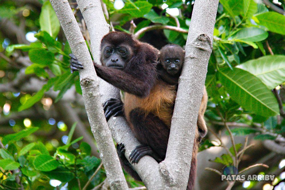 Monos aulladores Ometepe Nicaragua