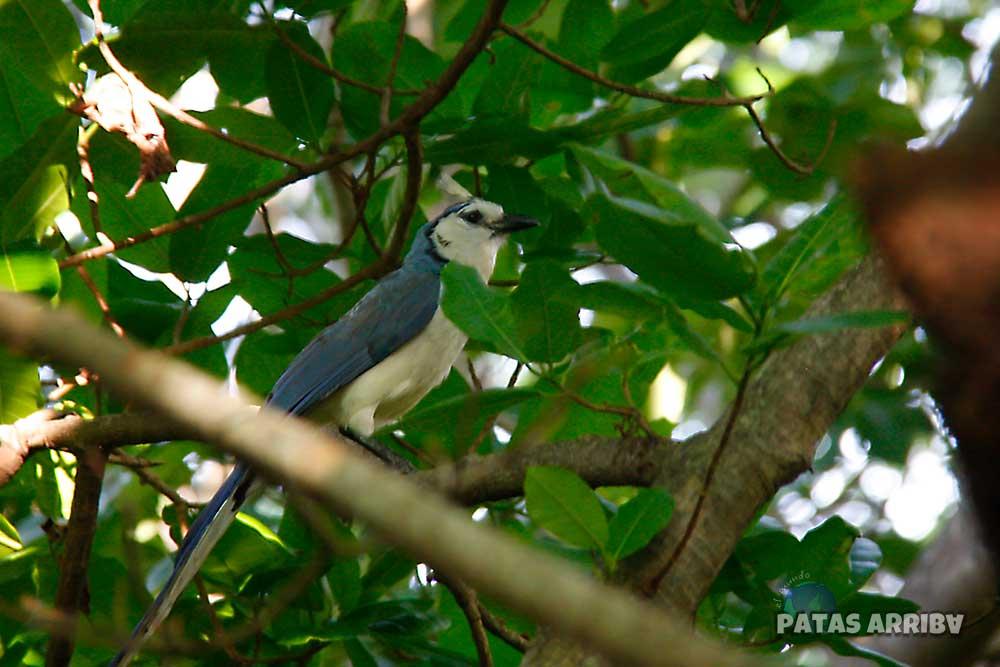 Urraca Ometepe Nicaragua