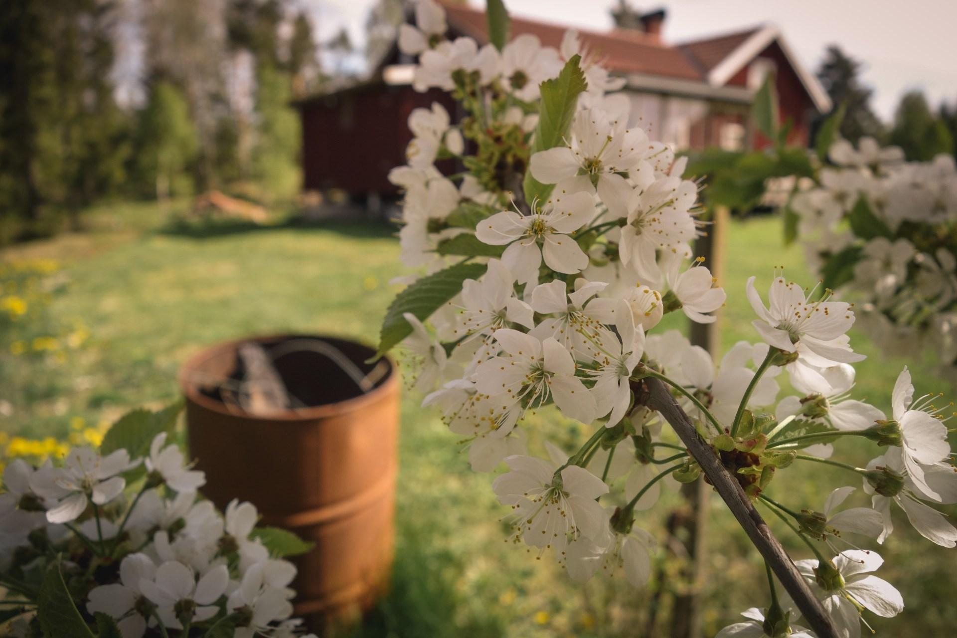 Körsbärsträden blommar i Alboga