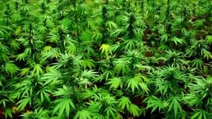 consumo-marihuana