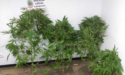 La Policía Local de Cehegín se incauta de una plantación de marihuana gracias a la colaboración ciudadana
