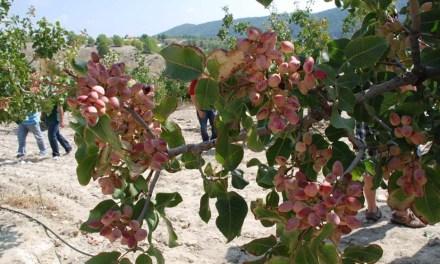 Agricultura muestra la rentabilidad del cultivo del pistacho tras cinco años de ensayos en una finca experimental del Noroeste