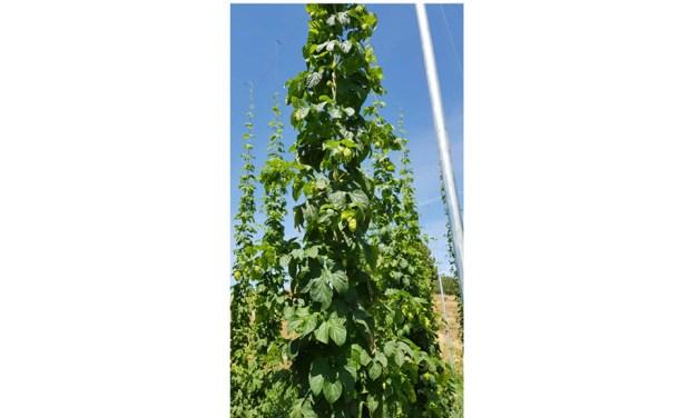 Lupulo, un cultivo para reactivar la economía rural de la comarca del Noroeste