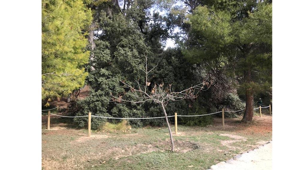 La Concejalía de Medio Ambiente retoma el tratamiento de la encina centenaria de Las Fuentes y delimita un perímetro de seguridad