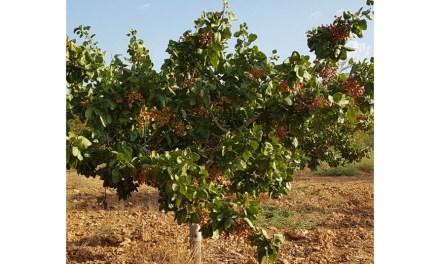 Agricultura destaca el afianzamiento del cultivo del pistacho y la necesidad de aumentar la producción ecológica, su comercialización y divulgación