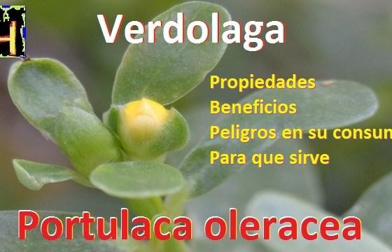 plantas medicinales la huertas beneficios de la verdolaga propiedades y peligros en su consumo. la verdolaga para que sirve...