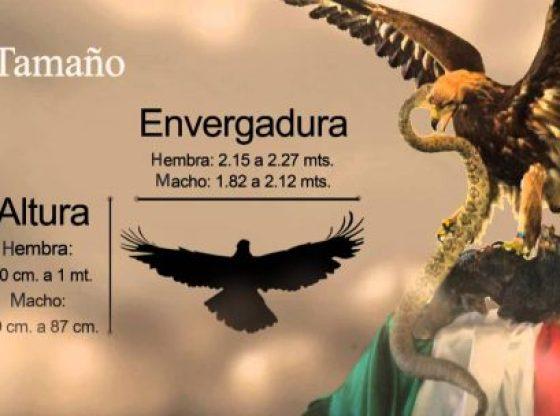 El Águila Real en serio peligro de extinción