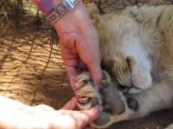 De belles griffes pour un si petit lion