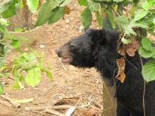 une réserve pour sauver les ours du braconnage