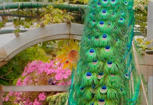 Peacock in my garden