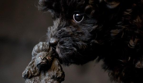 Poodle in black