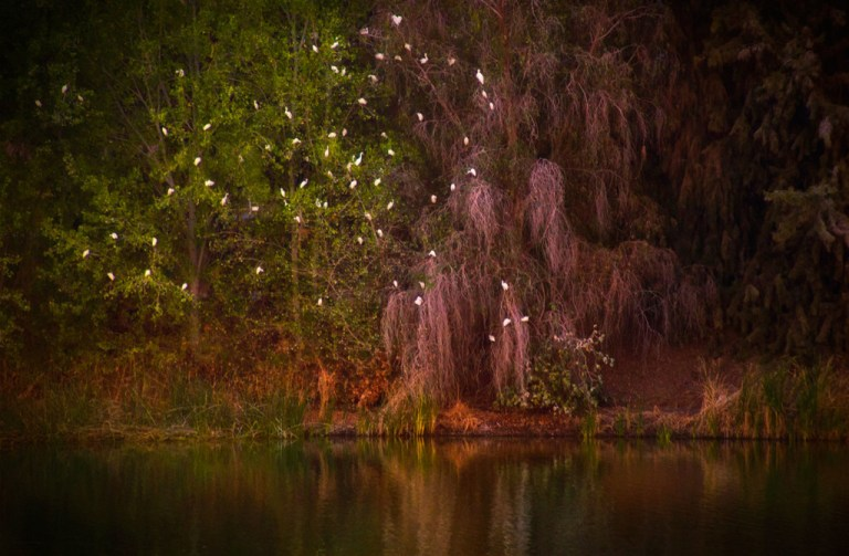 Egrets in the tree