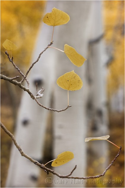 Aspen in Autumn, Bishop Creek Canyon, Eastern Sierra