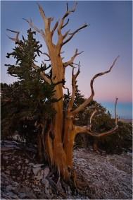 Gary Hart Photography: Bristlecone Twilight, Patriarch Grove, White Mountains, California