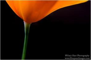 Gary Hart Photography: Simple Elegance, California Poppy, Sierra Foothills