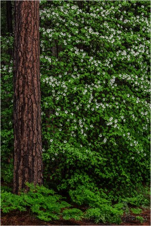 Dogwood and Pine, Valley View, Yosemite