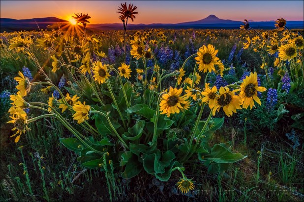 Gary Hart Photography: Wildflowers and Sunstar, Mt. Adams, Columbia River Gorge