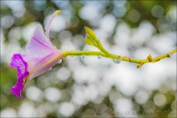 Gary Hart Photography: Raindrops on Orchid, Lava Tree State Park, Hawaii