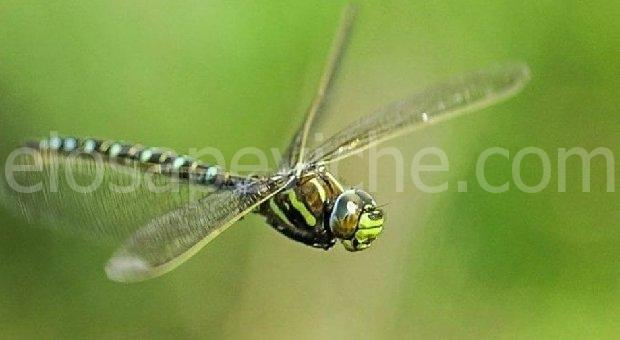 Le femmine di libellula  fingono la morte  per evitare maschi indesiderati