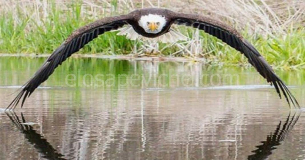 Lo scatto fotografico perfetto di un'aquila calva che sorvola un lago