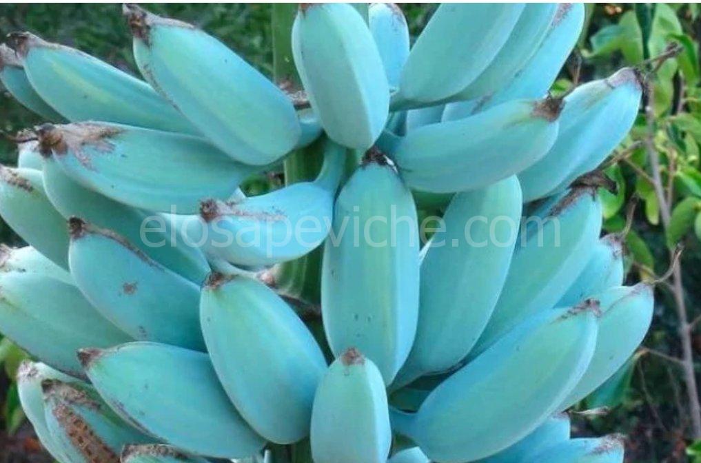 Blue Java: la banana blu che sa di gelato alla vaniglia