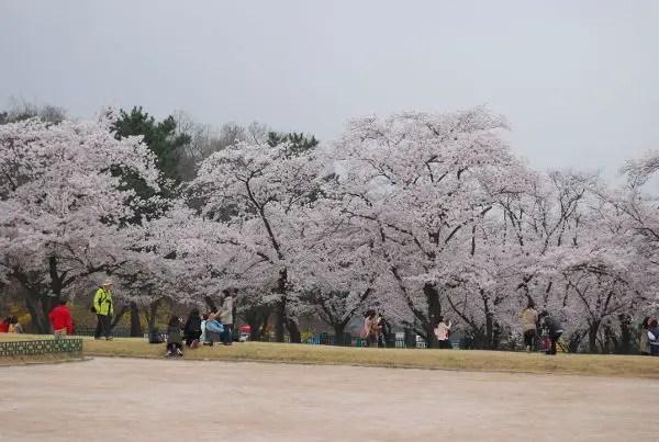 Cerezos en flor en el estanque Anapji de Gyeongju