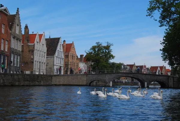 Cisnes en los canales de Brujas