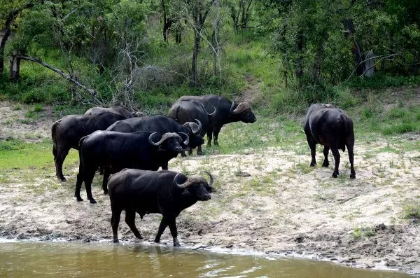 Fotos Cheetah Plains en el Kruger de Sudafrica, bufalos en la charca