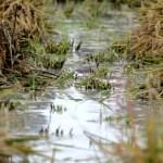 Fotos Delta del Ebro. Siega del arroz, arrozales